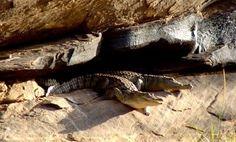 Memento Mori!: La increible supervivencia de los cocodrilos del desierto