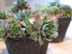Succulents in a stone pot