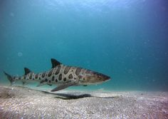 A leopard shark meanders through Big Fisherman's Cove on Catalina Island. Photo courtesy of Chris Lowe.