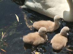 Goslings, swan babies