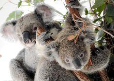 オーストラリアのシンボル的な存在のコアラが、開発や感染症、温暖化などの影響で激減している。