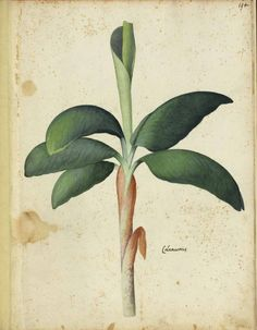 A banana plant? Italian fruits and vegetables. Scan of 2 d images in the public domain believed to be free to use without restriction in the US. Botanical Drawings, Botanical Prints, Banana Ketchup, Banana Plants, Tropical Art, Rare Flowers, Fruit Art, Fauna, Flower Seeds