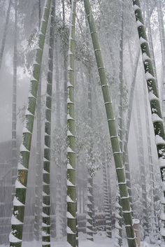 bamboo groove in snow