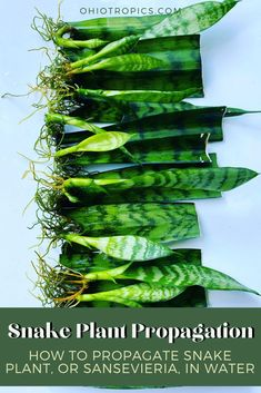 Water Plants, Cool Plants, Snake Plant Propagation, Propogating Plants, Fiddle Fig, Best Indoor Plants, Mini Gardens, House Plant Care, Vegetable Garden Design