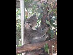 Koala Constable Nevin bellowing - YouTube
