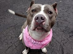 SAFE 6-2-2015 --- Manhattan Center AMANDA – A1034164 FEMALE, GRAY, PIT BULL MIX, 3 yrs STRAY – STRAY WAIT, NO HOLD Reason STRAY Intake condition UNSPECIFIE Intake Date 04/24/2015