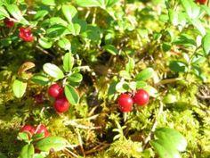 Vaccinium vitisi-idaea - puolukka - Pinsiön taimisto