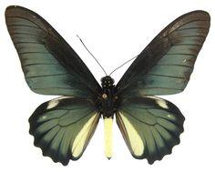 ButterflyCorner.net: Battus lycidas