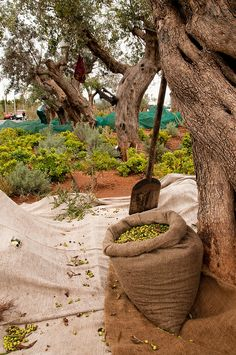 Olive harvesting - Costa Navarino, Greece