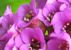 Saxifraga Gardening, Flowers, Plants, Floral, Lawn And Garden, Plant, Royal Icing Flowers, Florals, Flower