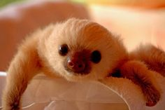I want to hug this sloth and never it go :)
