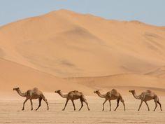 wonderful camel wallpaper