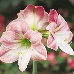 AMARILIS, AMARYLIS, HIPEASTRUM. Amarilis es apreciada por sus flores grandes y vistosas de diversos colores .  Los principales colores son el rojo, rosa, rojo/blanco y blanco. Florece de primavera hasta principio de verano. Los bulbos forzados florecen en invierno.  Hace sólo una floración, pero es magnífica.