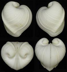 Pattern Inspiration. Moltkes Heart Clam - Meiocardia moltkiana