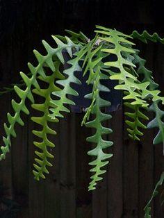 Epiphyllum Anguliger Fishbone Succulent Zig Zag Cactus Hanging Plant Rare Seeds