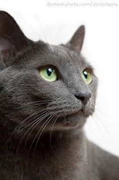 Russian Blue cats...BEST BREED OF CAT THAT I HAVE EVER OWNED #RussianBlueCat