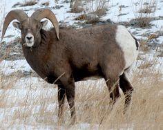 Big Horn Sheep near Eckshaw, Alberta