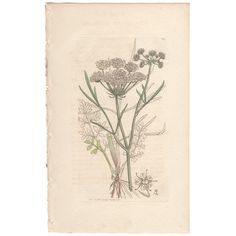 Plate 347 Parsley Water-dropwort https://madebykim.com/sowerby-english-botany-vol-5-1796/plate-347?utm_content=buffer2a50c&utm_medium=social&utm_source=pinterest.com&utm_campaign=buffer