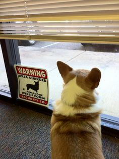 Area Guarded by Pembroke Welsh Corgi! The Daily Corgi--- Protecting us inappropriate footware.