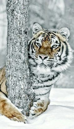 Siberian Tiger (Panthera tigris altaica), also known as the Amur tiger. Nature Animals, Animals And Pets, Cute Animals, Beautiful Cats, Animals Beautiful, Panthera Tigris Altaica, Big Cats, Cats And Kittens, Gato Grande