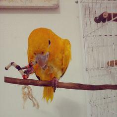 A Juju curtindo o brinquedo novo da #guarubatoys #ararajuba #instabirds #instapets #birds #aves #mundosilvestre #portalsilvestre #parrotsofinstagram #bird #birds #birdsofinstagram #birding #animale #bird_watchers_daily #animal #birdwatching #loveit #nature_seekers #igbirdfreaks #bird_lovers_daily #instabird #tagsta_nature #feather #birdsofinstagram #sky #bestbird #birdstagram #wings #lovebirds