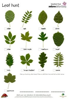 Ticklist of common tree leaves. Get kids outdoors exploring with this fresh activity from the Woodland Trust's nature detectives website. Bring the outdoors into your classroom with this inspiring activity from the Woodland Trust's nature detectives we. Outdoor Education, Outdoor Learning, Outdoor Play, Forest School Activities, Nature Activities, Outdoor Activities For Preschoolers, Scout Activities, Autumn Activities, Science Nature