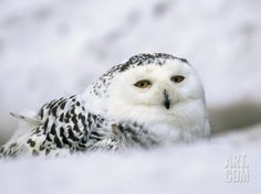 Captive Snowy Owl (Nictea Scandiaca) Photographic Print by Steve & Ann Toon at Art.com