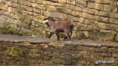 Bouncing Along Goat