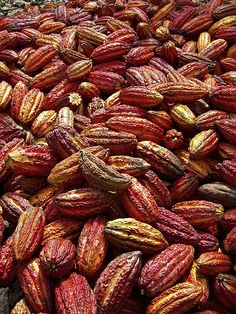 cacao harvest, Santa Lucia, Peru Chocolate in the raw