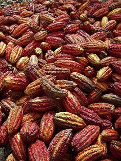 cacao harvest, Santa Lucia, Peru Chocolate in the raw
