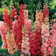 Delphinium 'Red Arrows Mixture'