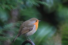 Photo of the beautiful European Robin bird sitting on a fence. Robins are wonderful birds.