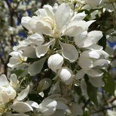Spring Snow Crabapple is one of the showiest, most fragrant ornamental trees you'll see in the spring. It has great fall color too and it's fruitless. #Horticology #SpringSnowCrabapple #Crabapple #SpringBlooms