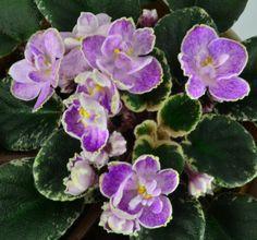 Robs Pink Prisms African Violet Flowers