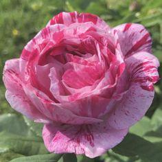 Sterk geurende rozen - De allermooiste klimrozen van Belle Epoque Ferdinand, Flowers, Belle Epoque, Royal Icing Flowers, Flower, Florals, Floral, Blossoms