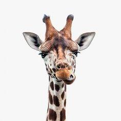 Giraffen kop voor aan de muur. Wanddecoratie in vele soorten en maten. Interieur.