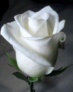 Rosa branca Mais