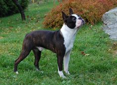 Boston Terrier. They are members of the non-sporting group. They are great companions. They stand at 15-17 inches at the shoulder and weigh about 15-25 pounds.