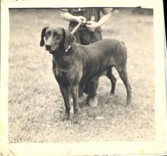 One of the first Plott Hounds. State dog of NC.