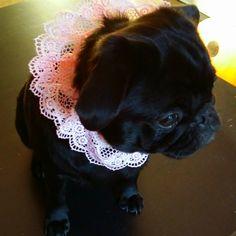 @projetdiy#4 my pug in dentelle