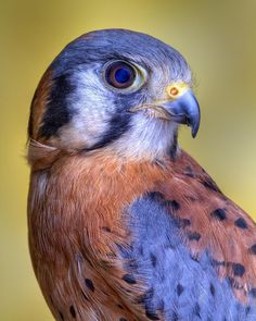 The American Kestrel, Falco Sparverius, sometimes colloquially known as the Sparrow Hawk, is a small falcon and is the only kestrel found in the Americas - photo by Bob Jensen Pretty Birds, Love Birds, Beautiful Birds, Animals Beautiful, Exotic Birds, Colorful Birds, Rapace Diurne, American Kestrel, Kinds Of Birds