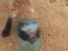 Fox with head stuck in jar approaches humans for help