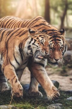 W - C A N V A S / Tiger Love by Harry Schindler