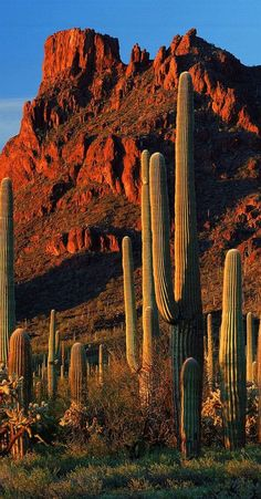 *Saguaro in the Sonoran desert, Arizona, USA Beautiful Nature Wallpaper, Beautiful Landscapes, Belle Image Nature, Beautiful World, Beautiful Places, Parcs, Wonders Of The World, Monument Valley, Nature Photography
