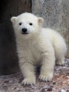 CUTEST THING YOU'LL SEE ALL DAY: baby polar bear