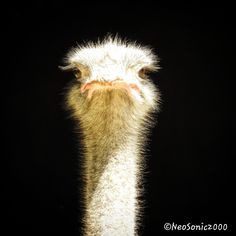 Zoo Basel - Portrait of a nice Ostrich - Basel, My Animal, Switzerland, Around The Worlds, Birds, Portrait, Nice, Nature, Photos