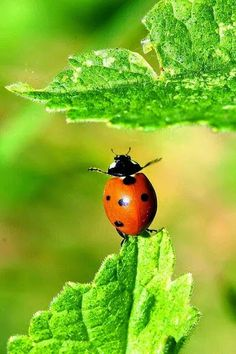 Lady bug Lady bug fly away ! Beautiful Creatures, Animals Beautiful, Cute Animals, Wild Animals, Beautiful Bugs, Amazing Nature, Photo Coccinelle, A Bug's Life, Bugs And Insects