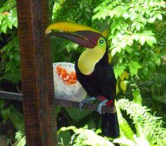 Pure Vida Bound - picture of Toucan in Costa Rica