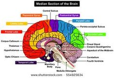 Median Section of Human Brain Anatomical structure diagram infographic chart  with all parts cerebellum thalamus, hypothalamus lobes, central sulcus medulla oblongata pons pineal gland figure vector