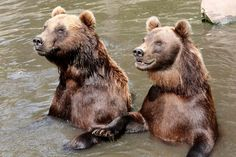 Kamchatka brown bears Leonid , left, and Mascha stand in the pool of their enclosure in the Hagenbeck Zoo in Hamburg,Germany, Wednesday July 24, 2013. (AP Photo/dpa, Bodo Marks)